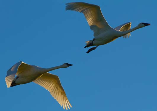 trumpeter swans in flight